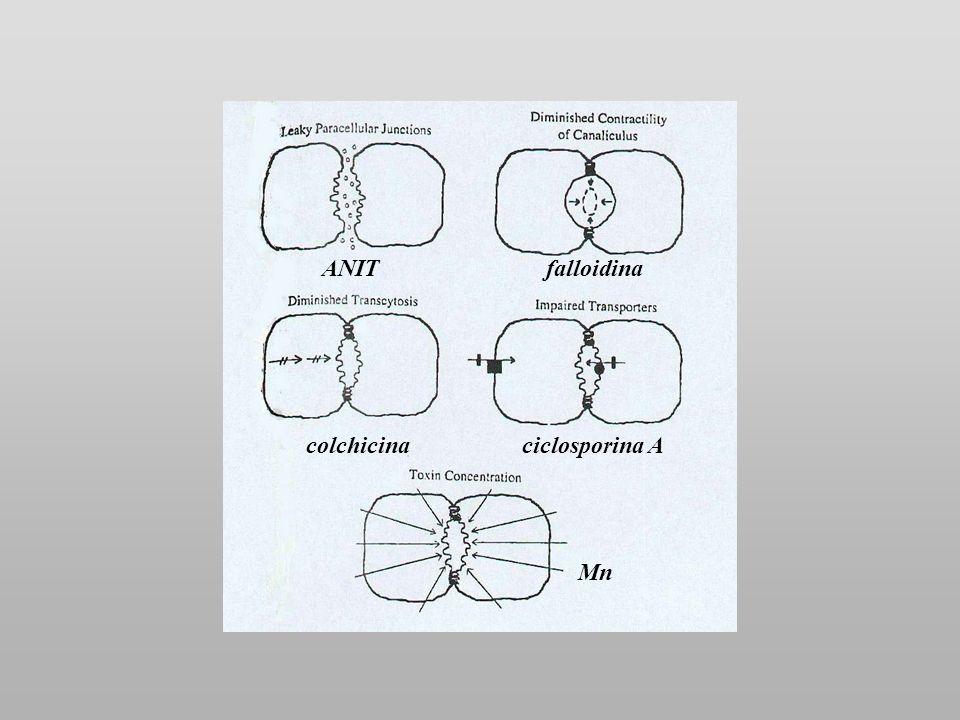 ANITfalloidina colchicinaciclosporina A Mn