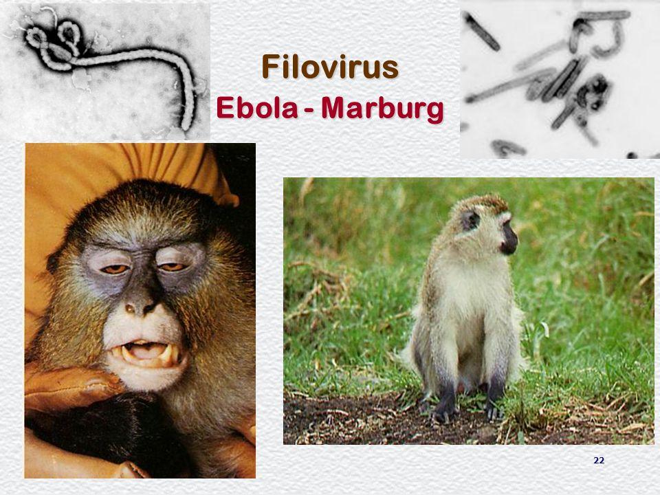 22 Filovirus Ebola - Marburg
