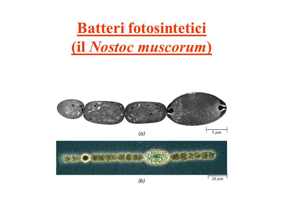 Batteri fotosintetici (il Nostoc muscorum)