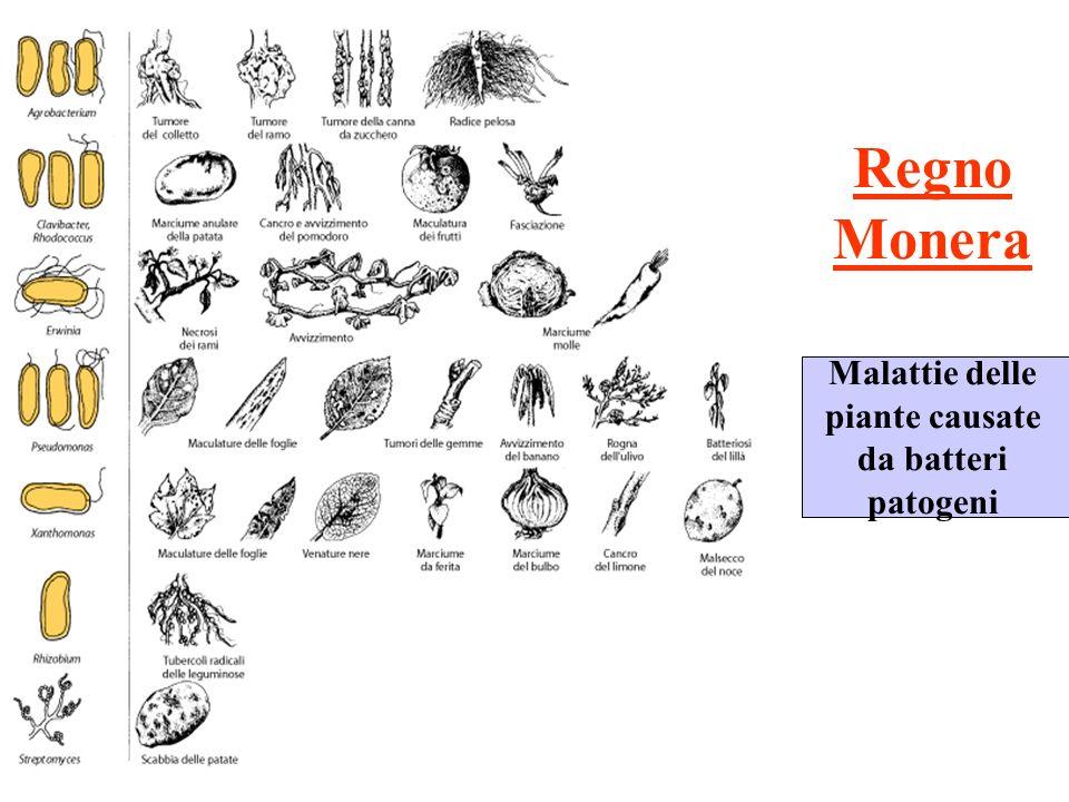 REGNO: Fungi Con i funghi inizia lalternanza di generazioni (con gametofito dominante)