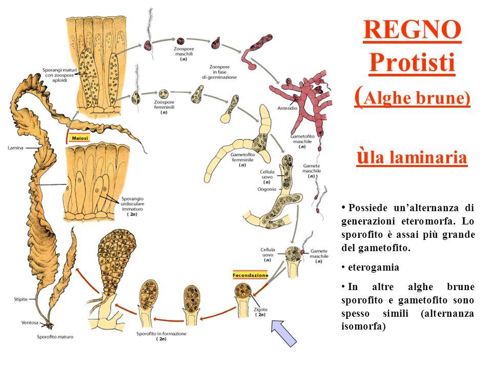 REGNO Protisti ( Alghe brune) ù la laminaria Possiede unalternanza di generazioni eteromorfa. Lo sporofito è assai più grande del gametofito. eterogam