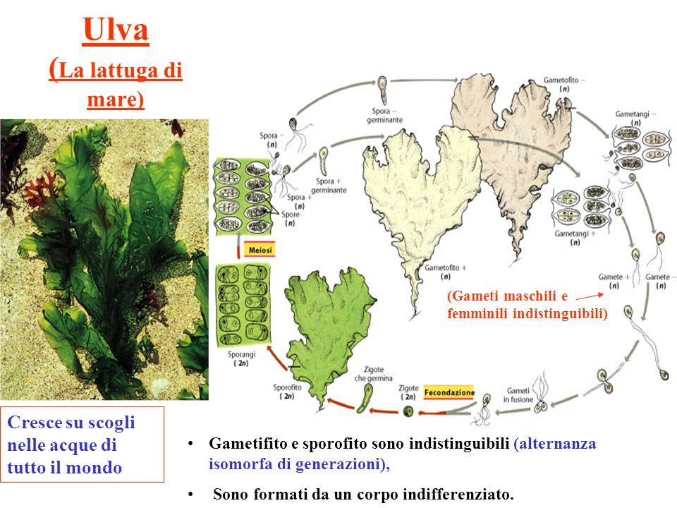 Ulva ( La lattuga di mare) Gametifito e sporofito sono indistinguibili (alternanza isomorfa di generazioni), Sono formati da un corpo indifferenziato.