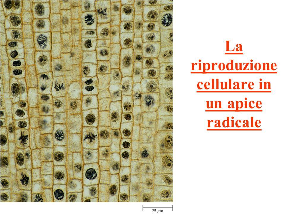 La riproduzione cellulare in un apice radicale