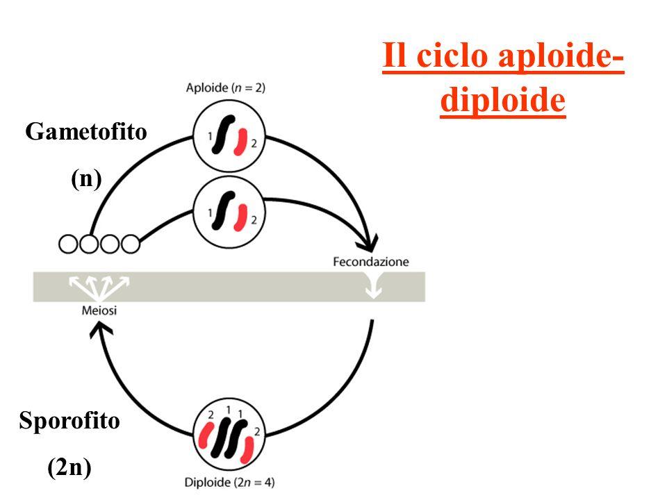 Il ciclo aploide- diploide Sporofito (2n) Gametofito (n)