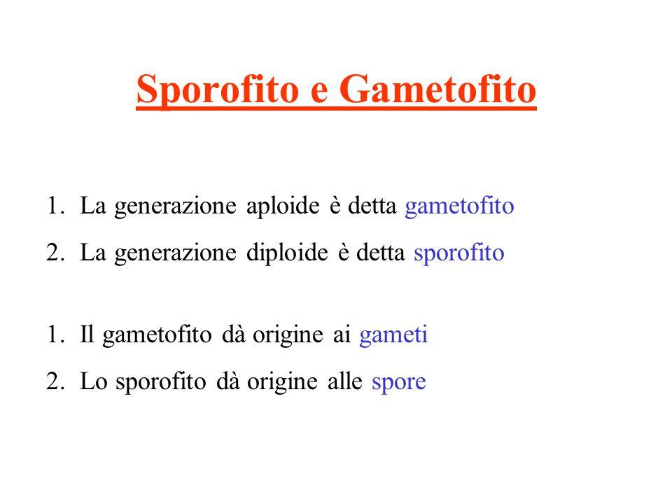Sporofito e Gametofito 1.La generazione aploide è detta gametofito 2.La generazione diploide è detta sporofito 1.Il gametofito dà origine ai gameti 2.