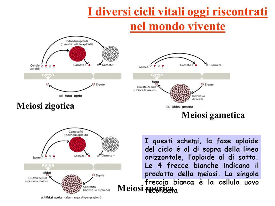I diversi cicli vitali oggi riscontrati nel mondo vivente Meiosi zigotica Meiosi gametica Meiosi sporica I questi schemi, la fase aploide del ciclo è al di sopra della linea orizzontale, laploide al di sotto.