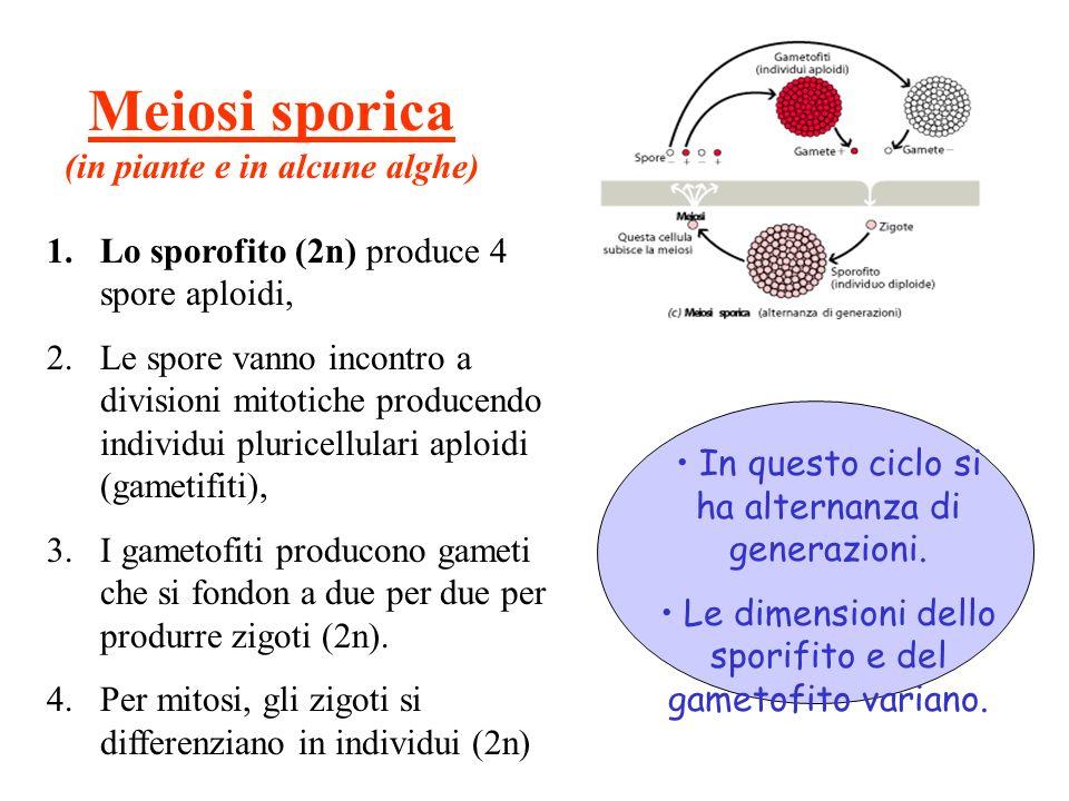 Meiosi sporica (in piante e in alcune alghe) 1.Lo sporofito (2n) produce 4 spore aploidi, 2.Le spore vanno incontro a divisioni mitotiche producendo individui pluricellulari aploidi (gametifiti), 3.I gametofiti producono gameti che si fondon a due per due per produrre zigoti (2n).