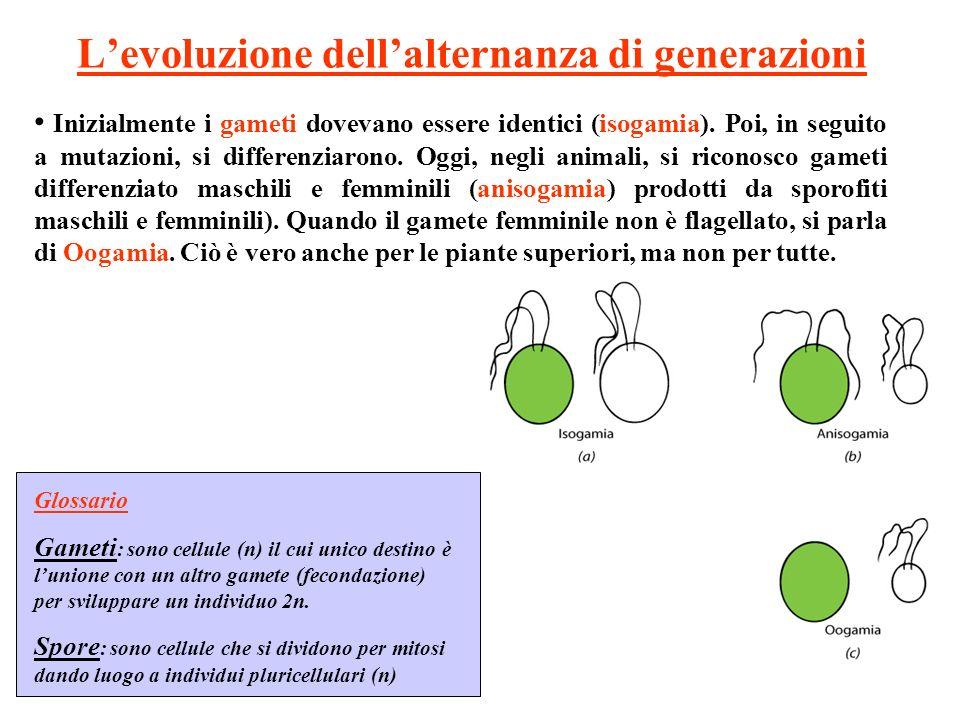 Levoluzione dellalternanza di generazioni Glossario Gameti : sono cellule (n) il cui unico destino è lunione con un altro gamete (fecondazione) per sviluppare un individuo 2n.