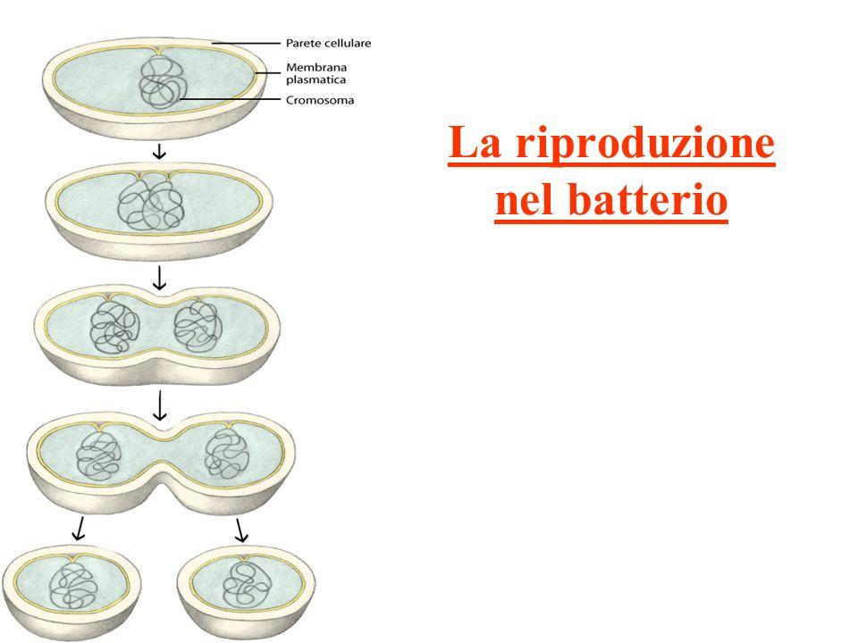 La riproduzione nel batterio