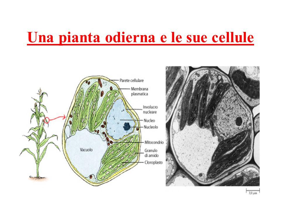 Una pianta odierna e le sue cellule