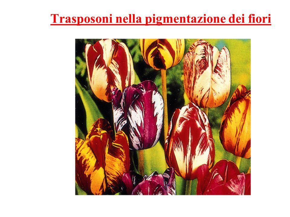 Trasposoni nella pigmentazione dei fiori
