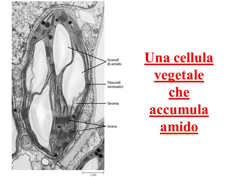 Una cellula vegetale che accumula amido