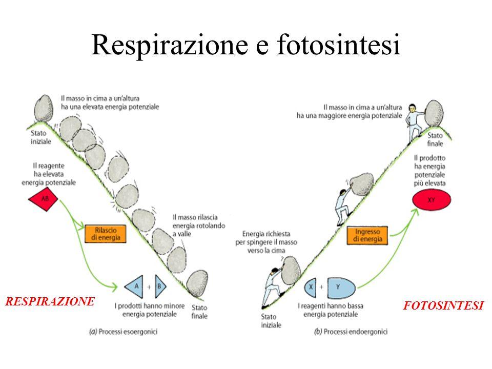 Respirazione e fotosintesi FOTOSINTESI RESPIRAZIONE