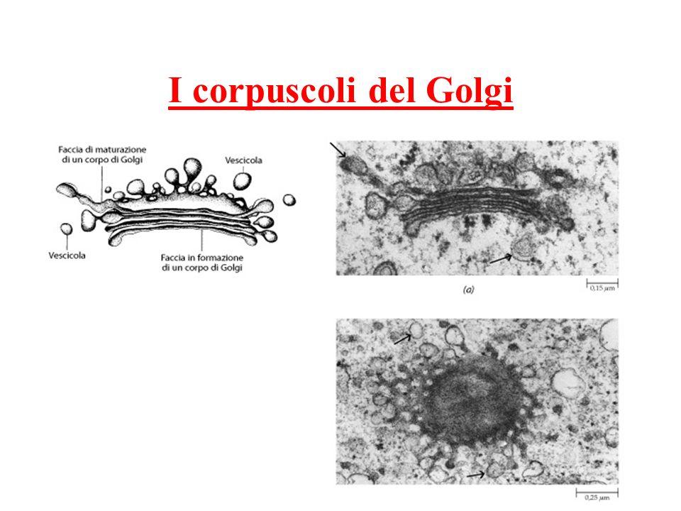 I corpuscoli del Golgi