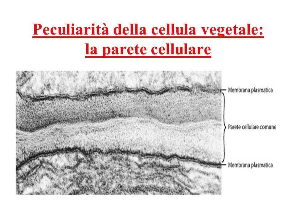 Peculiarità della cellula vegetale: la parete cellulare
