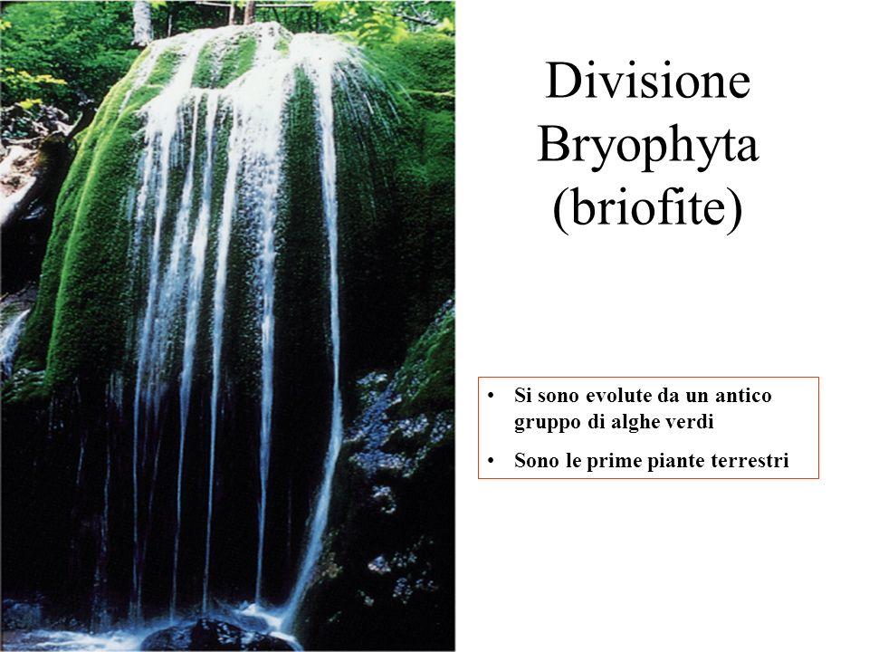 Divisione Bryophyta (briofite) Si sono evolute da un antico gruppo di alghe verdi Sono le prime piante terrestri