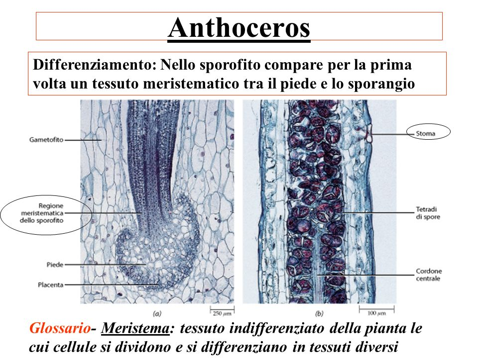 Anthoceros Differenziamento: Nello sporofito compare per la prima volta un tessuto meristematico tra il piede e lo sporangio Glossario- Meristema: tes