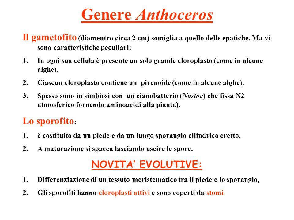 Genere Anthoceros Il gametofito (diamentro circa 2 cm) somiglia a quello delle epatiche. Ma vi sono caratteristiche peculiari: 1.In ogni sua cellula è