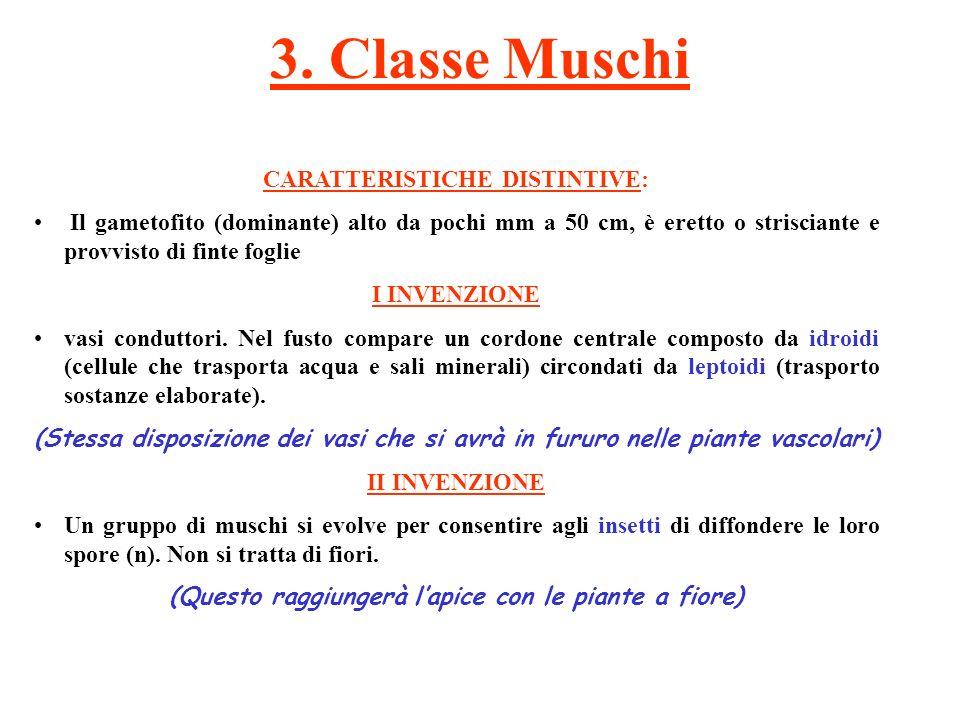 3. Classe Muschi CARATTERISTICHE DISTINTIVE: Il gametofito (dominante) alto da pochi mm a 50 cm, è eretto o strisciante e provvisto di finte foglie I