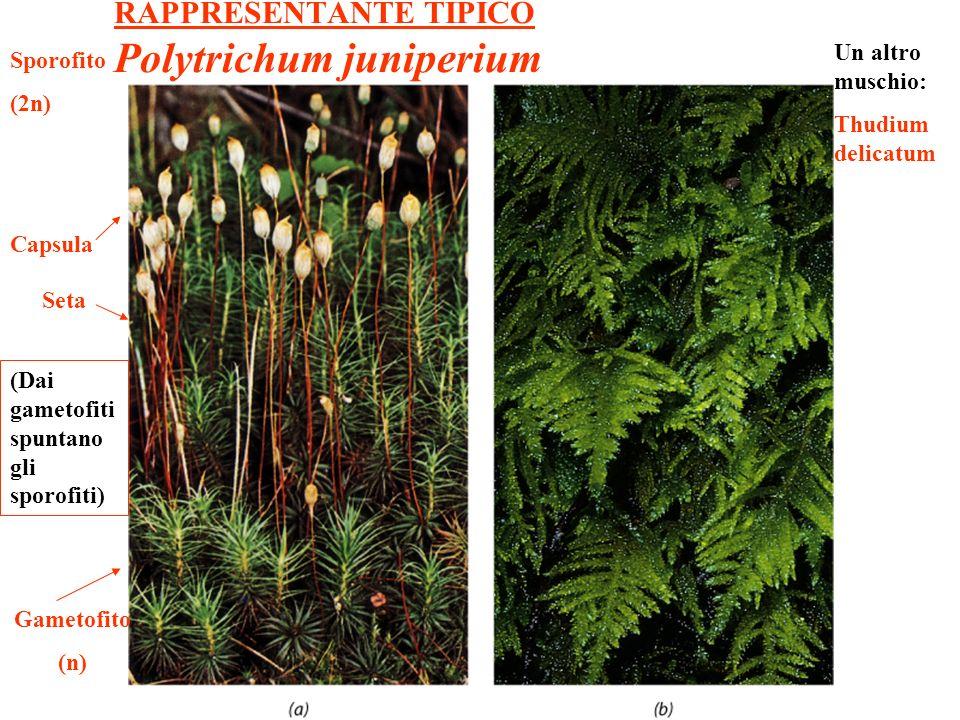 RAPPRESENTANTE TIPICO Polytrichum juniperium (Dai gametofiti spuntano gli sporofiti) Gametofito (n) Sporofito (2n) Capsula Seta Un altro muschio: Thud