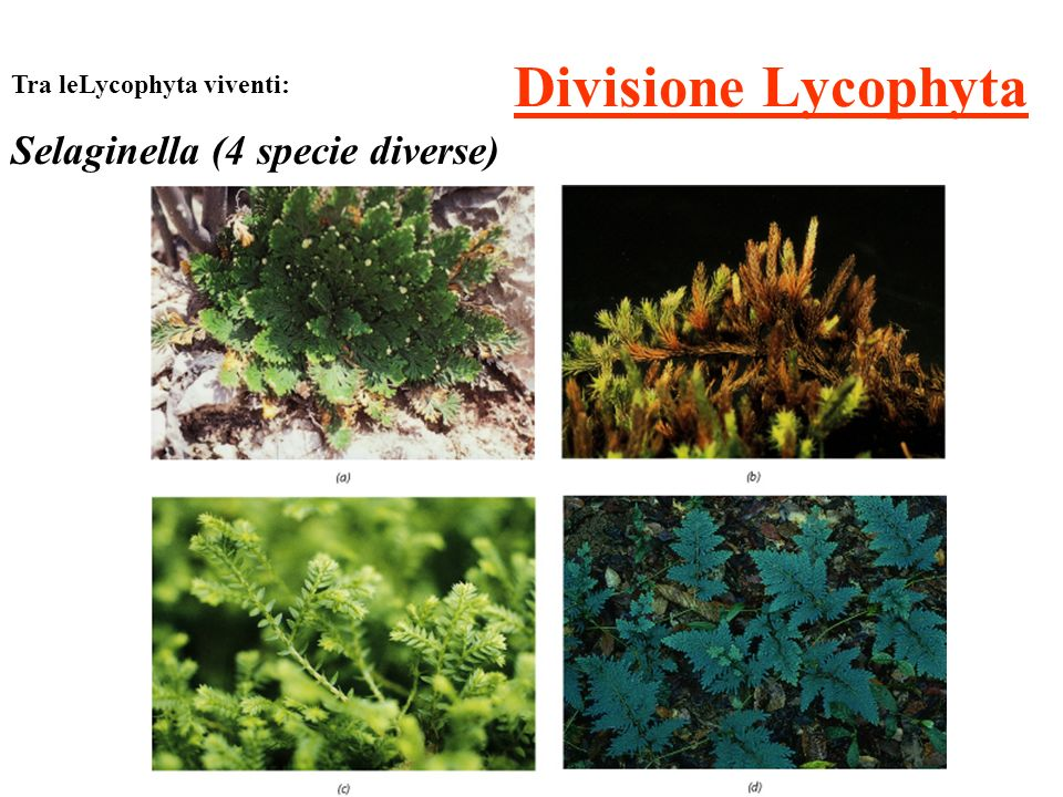Divisione Lycophyta Tra leLycophyta viventi: Selaginella (4 specie diverse)