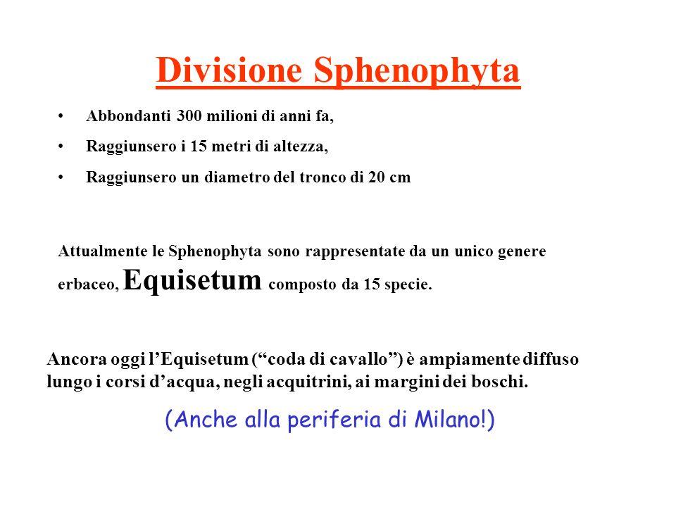 Divisione Sphenophyta Abbondanti 300 milioni di anni fa, Raggiunsero i 15 metri di altezza, Raggiunsero un diametro del tronco di 20 cm Attualmente le