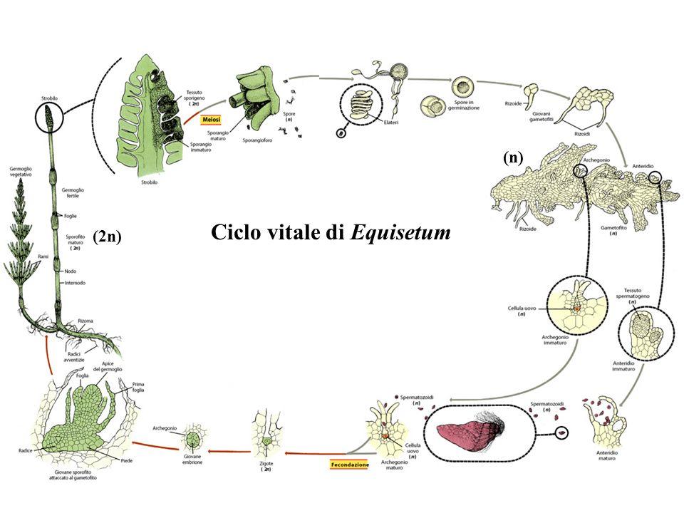 Ciclo vitale di Equisetum (2n) (n)