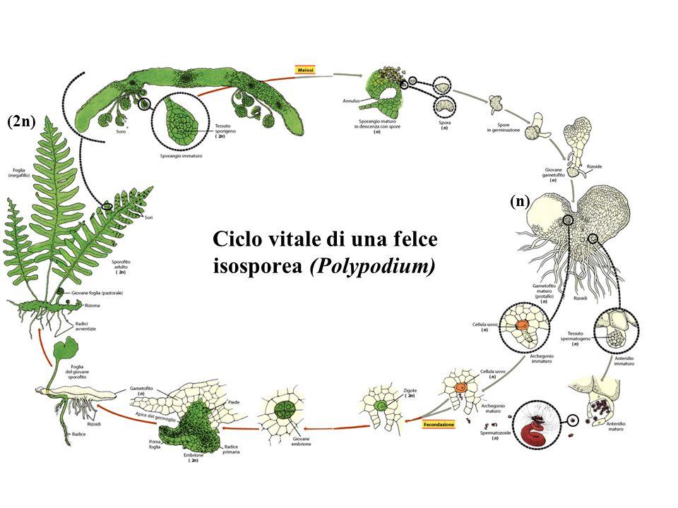 Ciclo vitale di una felce isosporea (Polypodium) (2n) (n)