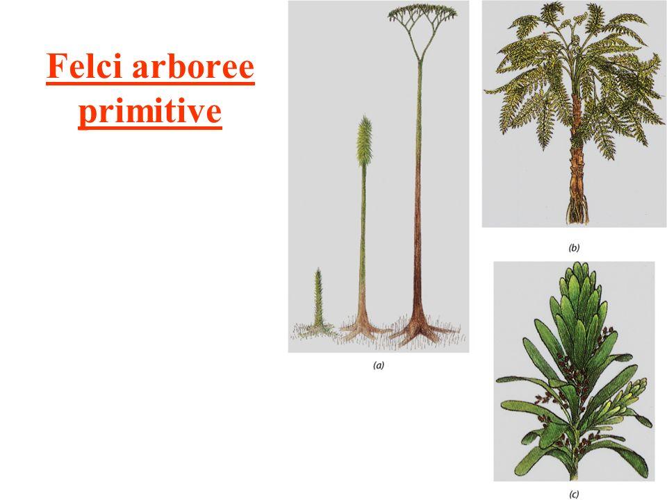 Felci arboree primitive