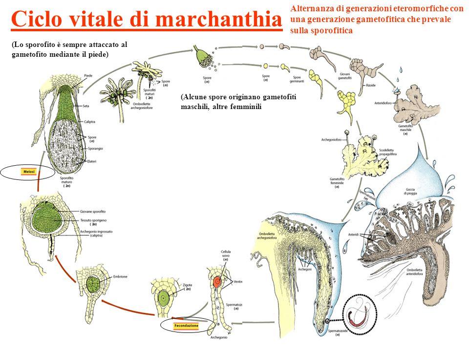 Ciclo vitale di marchanthia Alternanza di generazioni eteromorfiche con una generazione gametofitica che prevale sulla sporofitica (Alcune spore origi