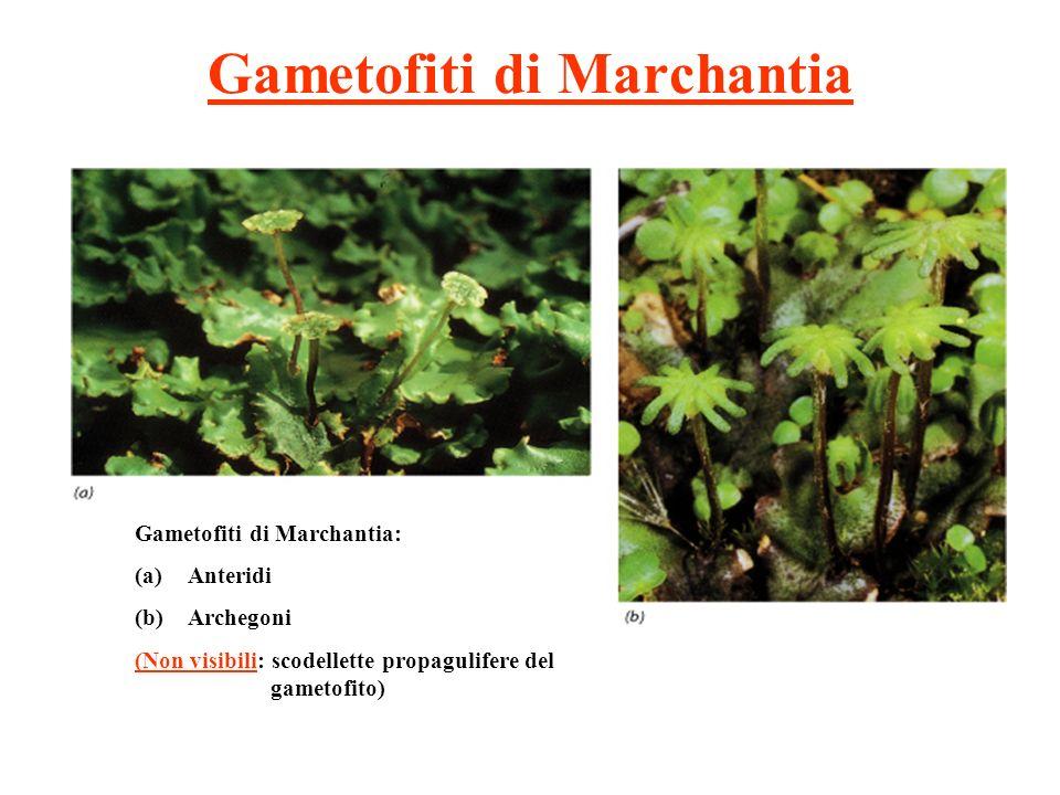 Gametofiti di Marchantia Gametofiti di Marchantia: (a)Anteridi (b)Archegoni (Non visibili: scodellette propagulifere del gametofito)