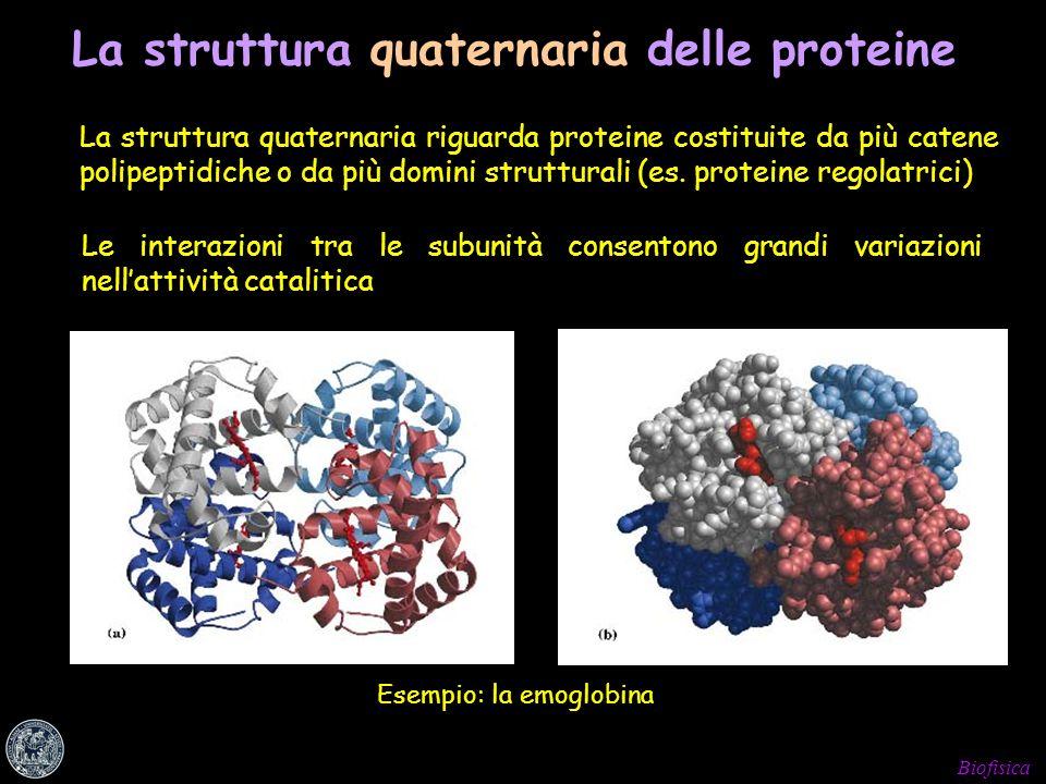Biofisica La struttura quaternaria riguarda proteine costituite da più catene polipeptidiche o da più domini strutturali (es. proteine regolatrici) Es