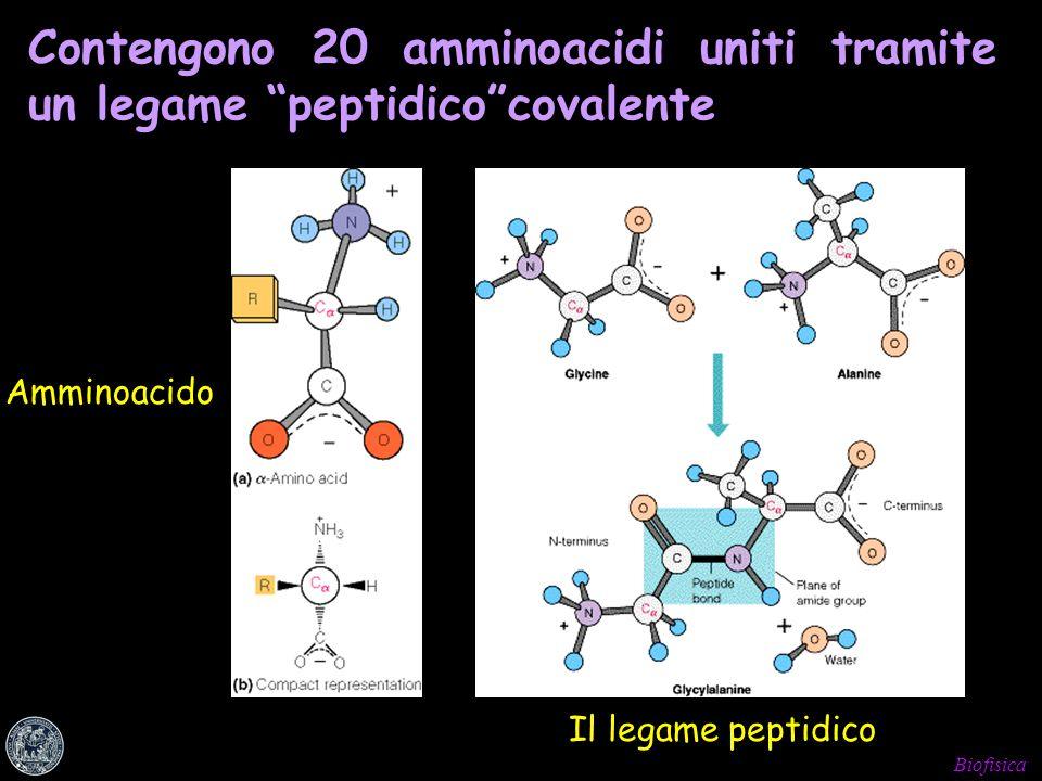 Biofisica Contengono 20 amminoacidi uniti tramite un legame peptidicocovalente Il legame peptidico Amminoacido