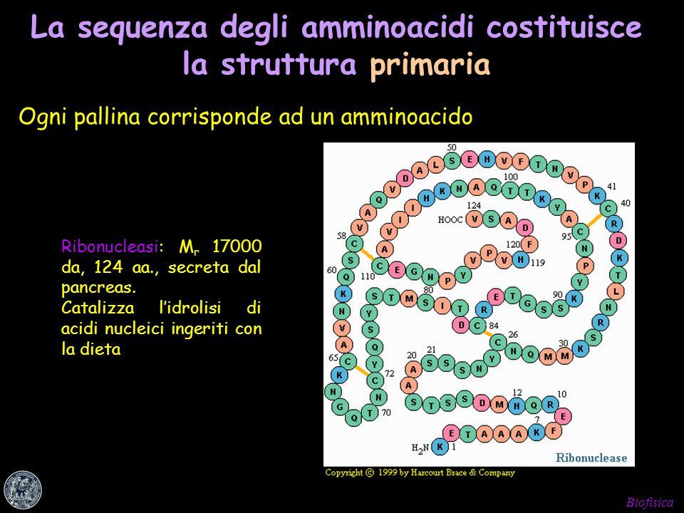 Biofisica La sequenza degli amminoacidi costituisce la struttura primaria Ogni pallina corrisponde ad un amminoacido Ribonucleasi: M r 17000 da, 124 a