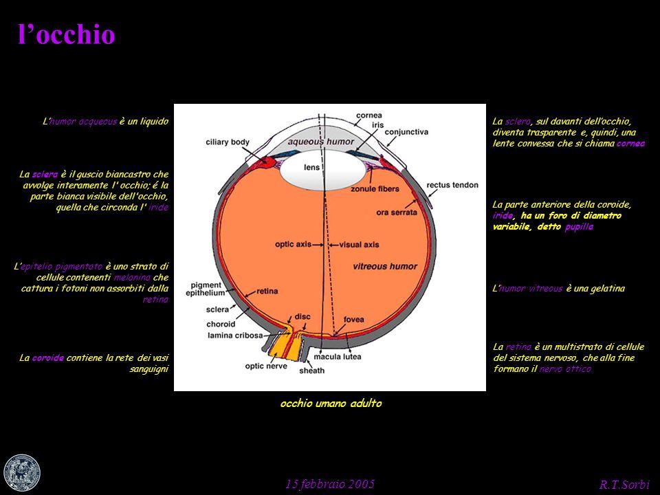 R.T.Sorbi 15 febbraio 2005 locchio occhio umano adulto La sclera è il guscio biancastro che avvolge interamente l' occhio; é la parte bianca visibile