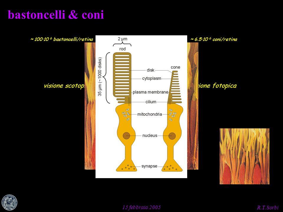 R.T.Sorbi 15 febbraio 2005 bastoncelli & coni visione scotopicavisione fotopica ~ 6.5·10 6 coni/retina~ 100·10 6 bastoncelli/retina
