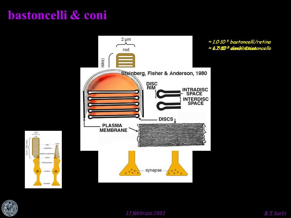 R.T.Sorbi 15 febbraio 2005 ~ 1.7·10 3 dischi/bastoncello ~ 6.5·10 6 coni/retina bastoncelli & coni ~ 1.0·10 8 bastoncelli/retina