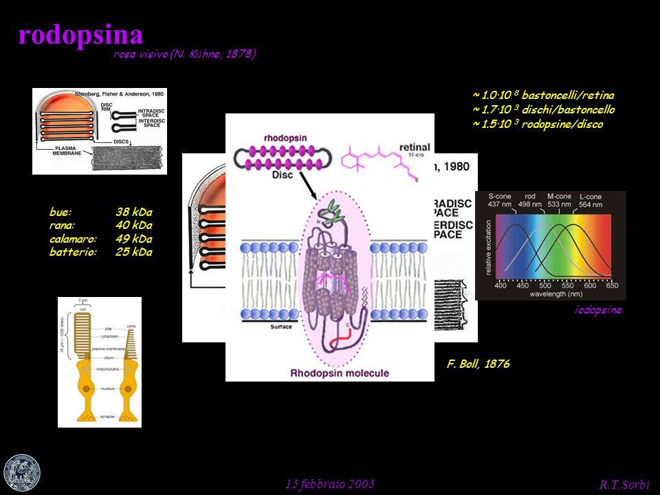 R.T.Sorbi 15 febbraio 2005 rodopsina F. Boll, 1876 rosa visivo (N. K ü hne, 1878) bue:38 kDa rana:40 kDa calamaro:49 kDa batterio:25 kDa ~ 1.0·10 8 ba