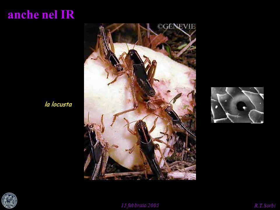 R.T.Sorbi 15 febbraio 2005 cis-trans aldeide della vitamina A 1 (G.Wald, 1933, 1963) R.Cone, 1969