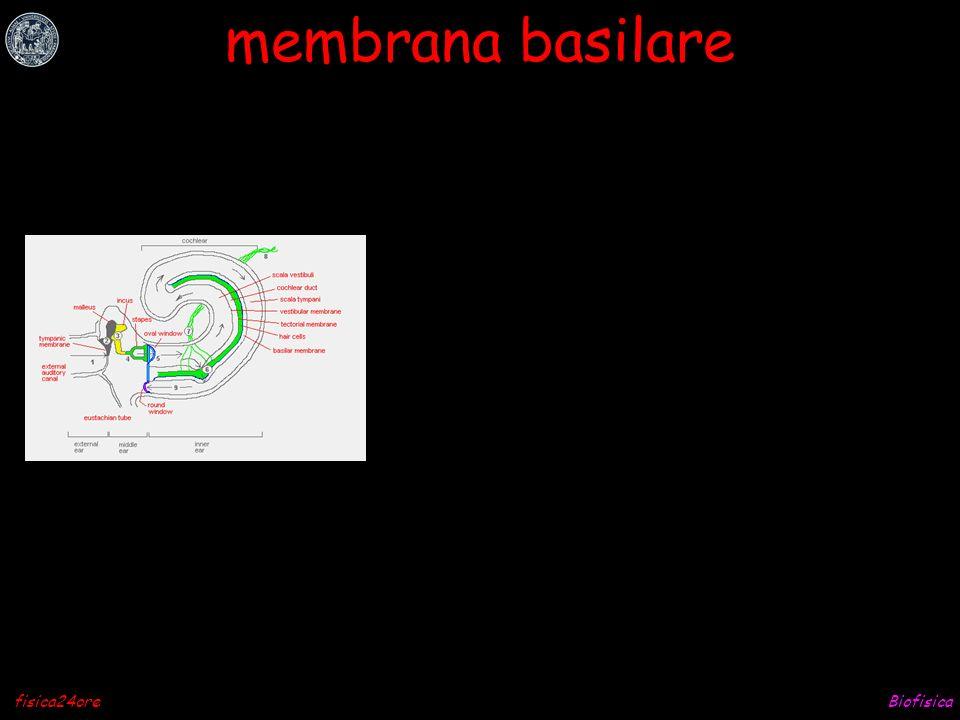 Biofisicafisica24ore stereocilia