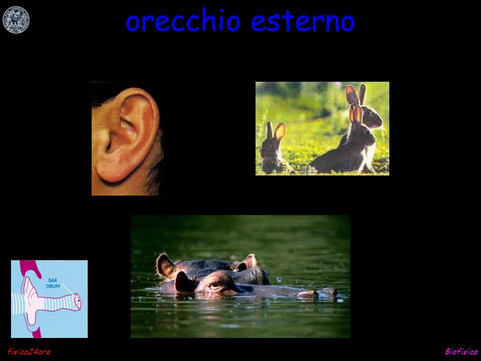 Biofisicafisica24ore orecchio