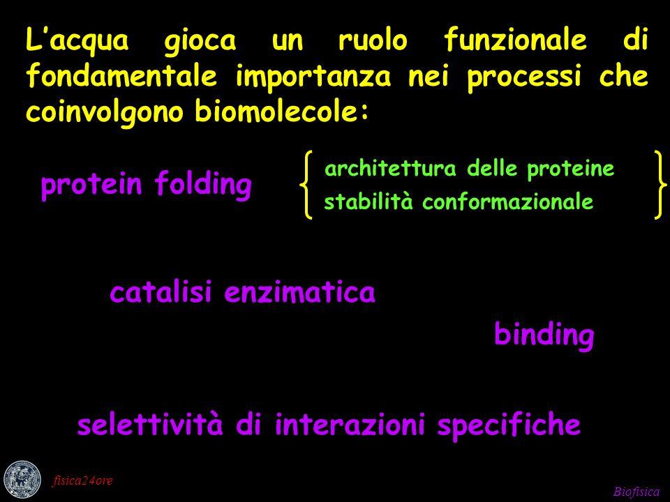 Biofisica fisica24ore Lacqua gioca un ruolo funzionale di fondamentale importanza nei processi che coinvolgono biomolecole: architettura delle proteine stabilità conformazionale protein folding catalisi enzimatica binding selettività di interazioni specifiche