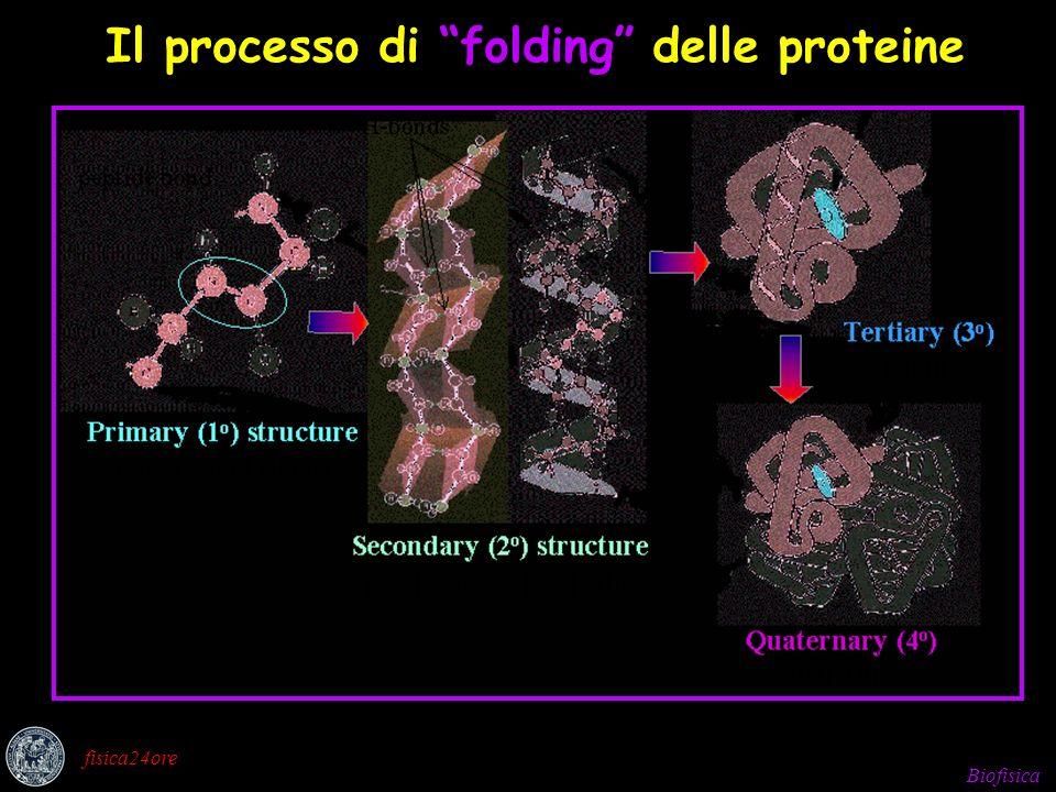 Biofisica fisica24ore Il processo di folding delle proteine
