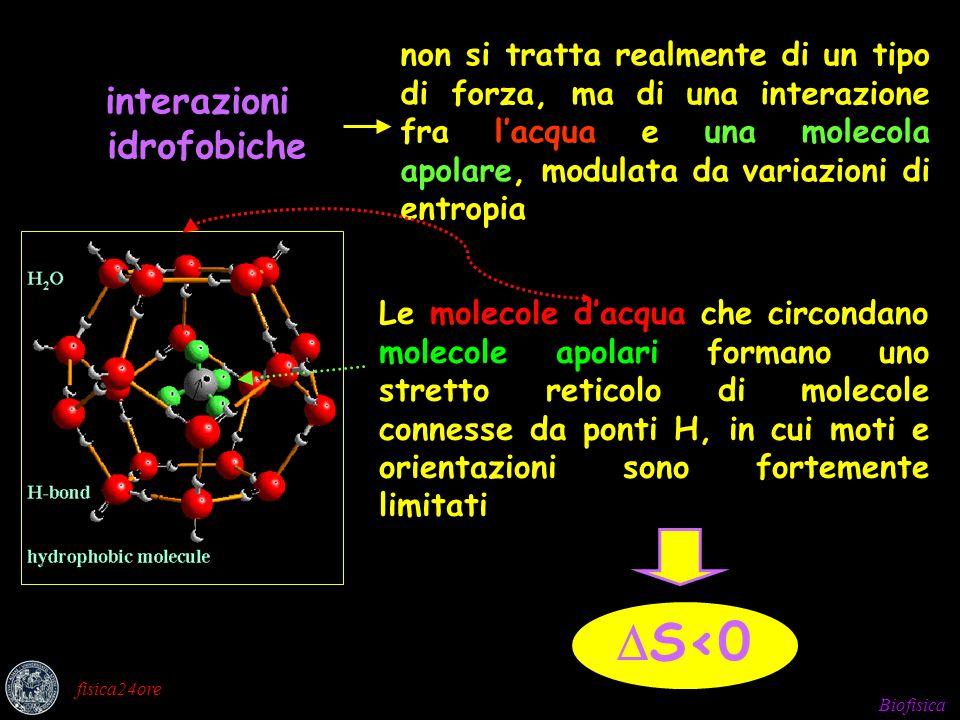 Biofisica fisica24ore interazioni idrofobiche non si tratta realmente di un tipo di forza, ma di una interazione fra lacqua e una molecola apolare, modulata da variazioni di entropia Le molecole dacqua che circondano molecole apolari formano uno stretto reticolo di molecole connesse da ponti H, in cui moti e orientazioni sono fortemente limitati S<0