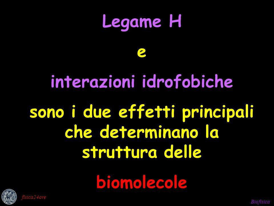 Biofisica fisica24ore Legame H e interazioni idrofobiche sono i due effetti principali che determinano la struttura delle biomolecole