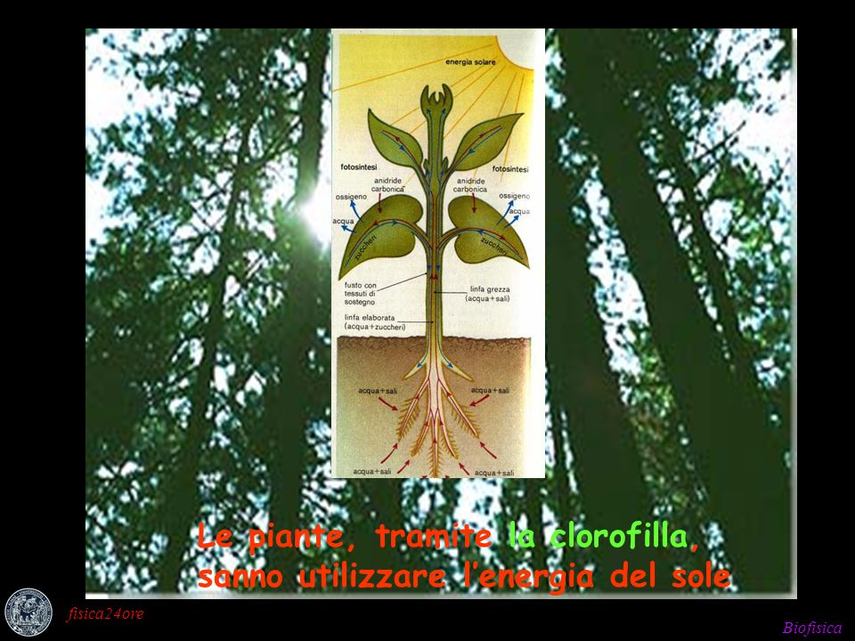 Biofisica fisica24ore Le piante, tramite la clorofilla, sanno utilizzare lenergia del sole