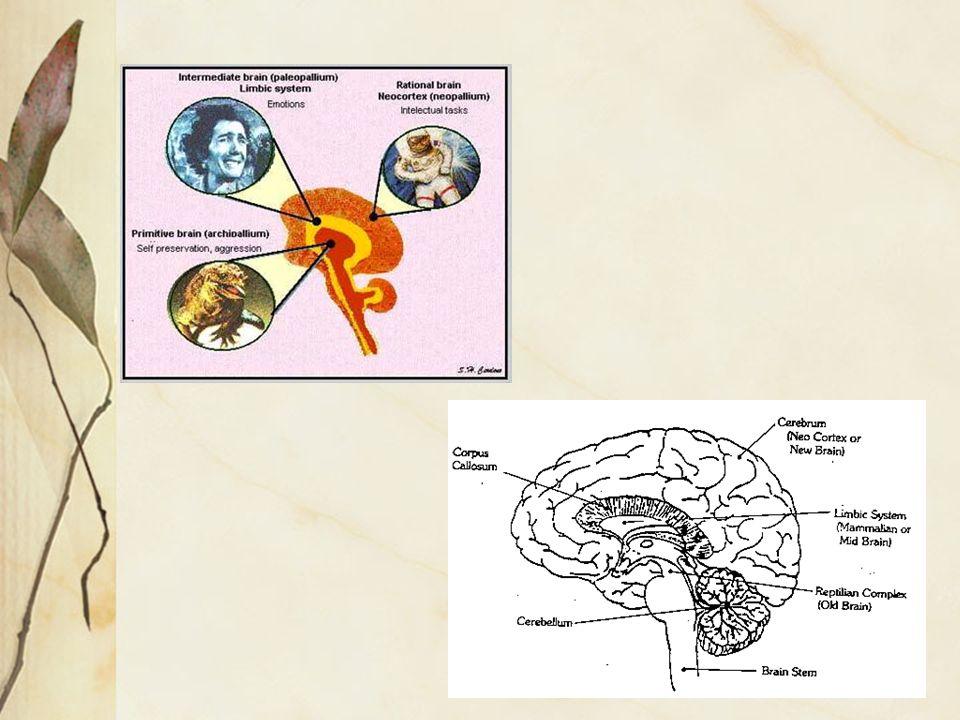Il cervello rettiliano The Reptilian Complex The R-complex consists of the brain stem and the cerebellum.