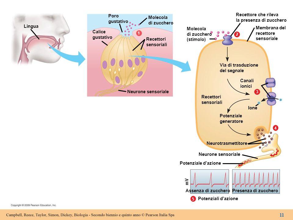 Lingua Calice gustativo Poro gustativo Neurone sensoriale Recettori sensoriali Molecola di zucchero 5 4 3 2 1 Molecola di zucchero (stimolo) Recettore