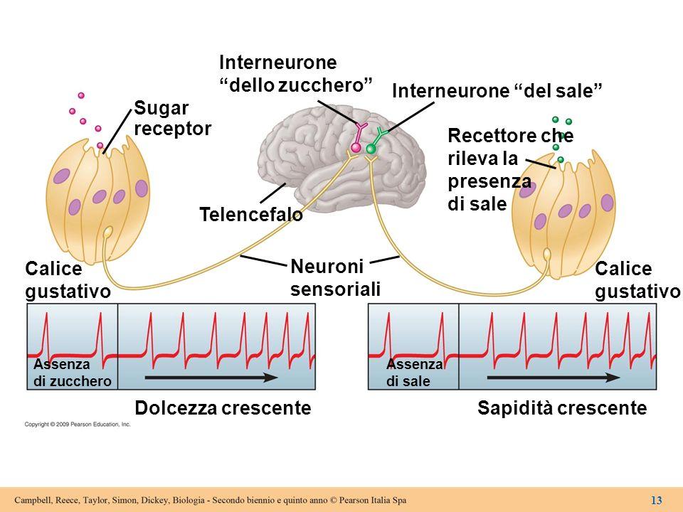 Sugar receptor Interneurone dello zucchero Interneurone del sale Recettore che rileva la presenza di sale Calice gustativo Neuroni sensoriali Telencef