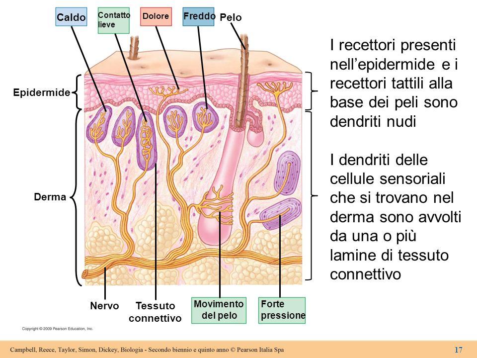 Caldo Epidermide Contatto lieve Dolore Freddo Pelo Forte pressione Movimento del pelo Tessuto connettivo Nervo Derma 17 I recettori presenti nellepide